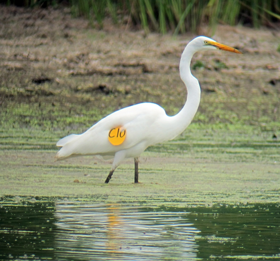 Tagged Great Egret, Melanie Lane Pond, Hanover Twshp, NJ, July 17 2012
