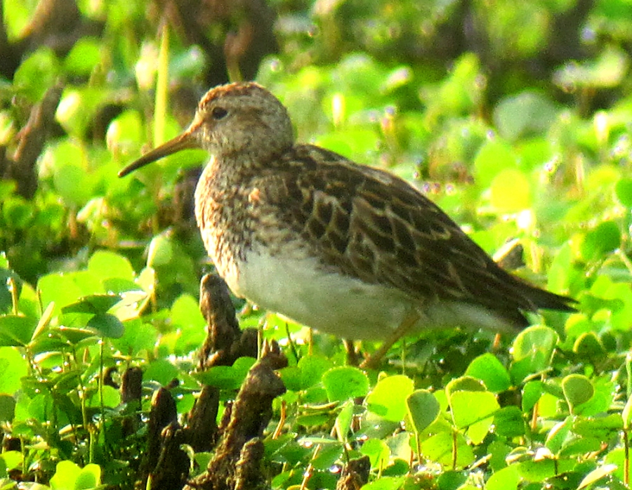 Pectoral Sandpiper, Melanie Lane Pond, Hanover Township, NJ, August 3, 2012 (photo by J. Klizas)