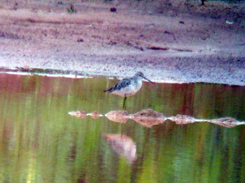 Stilt Sandpiper at Schoolhouse Road construction site, Franklin Township, NJ, Aug. 18, 2012 (digi-phone-scoped by J. Ellerbusch)