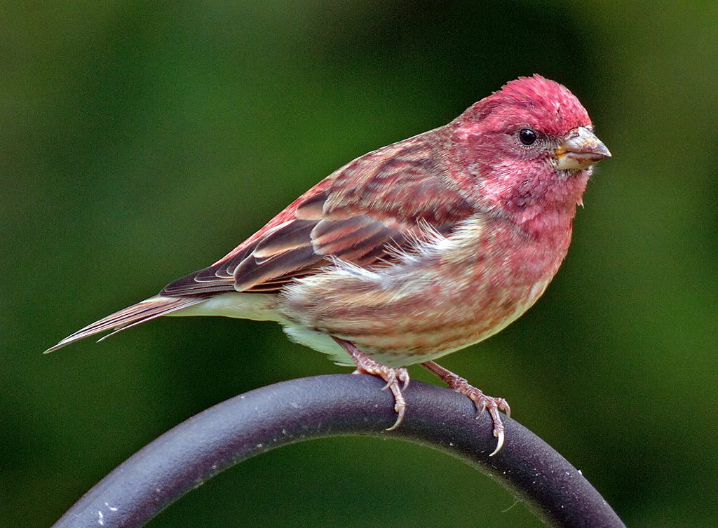 how to draw a purple finch