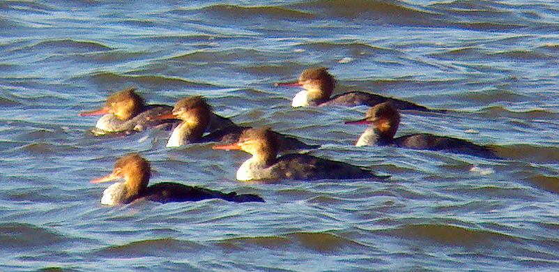Red-breasted Mergansers, Budd Lake, NJ, Nov. 29, 2012 (Photo by Jeff Ellerbusch)