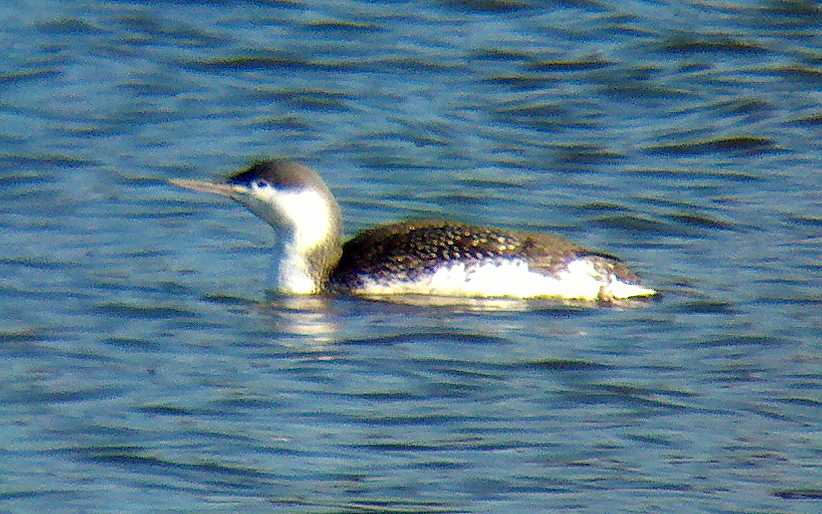 Red-throated Loon, Budd Lake, NJ, Nov. 29, 2012 (Photo by Jeff Ellerbusch)