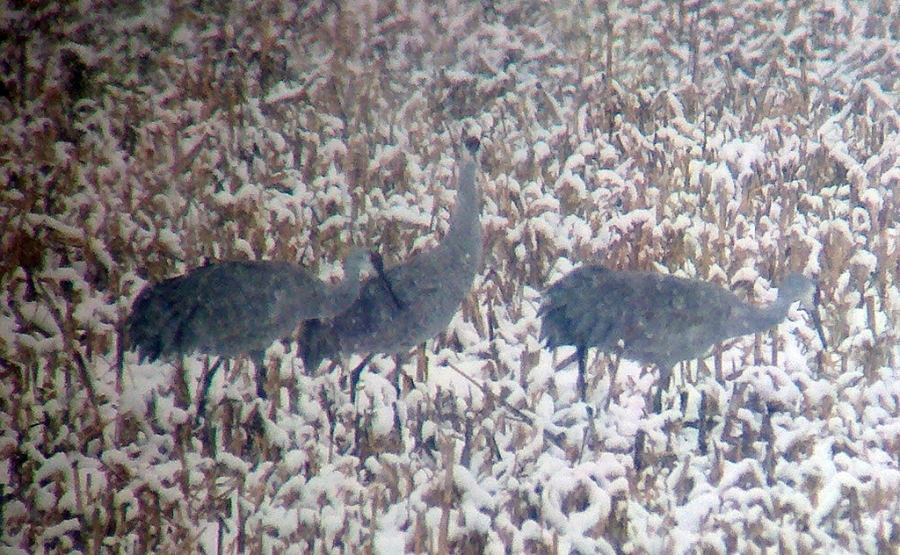 Sandhill Cranes, Hillsborough Township, NJ, Nov. 27, 2012 (Photo by Jeff Ellerbusch)