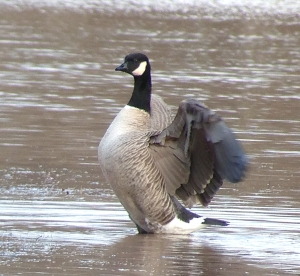 Cackling Goose, Duke Island Park, Bridgewater Township, NJ, Dec. 28, 2012 (Photo by Jeff Ellerbusch).