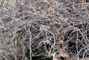 Lark Sparrow, Hillsborough Township, NJ, Dec. 17, 2012. First known Somerset County record. Found and photographed by Jeff Ellerbusch.