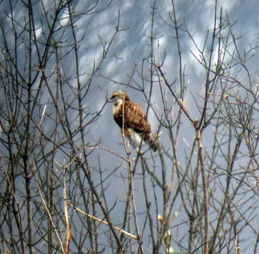 Rough-legged Hawk, at the Overlook on Pleasant Plains Road, Great Swamp N.W.R., Dec. 31, 2012 (Photo by Jonathan Klilzas)