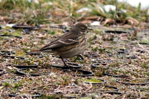 American Pipit, Great Swamp N.W.R., Jan. 1, 2013 (Photo by Jim Mulvey).
