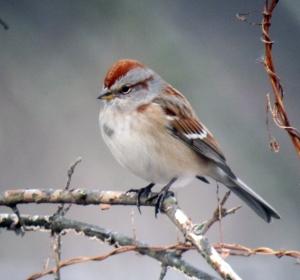 One of many American Tree Sparrow at Troy Meadows, NJ, Jan. 6, 2013 (digiscoped by Jonathan Klizas)