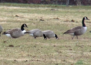 Two Cackling Geese feeding at the equestrian fields on Lord Stirling Road, Basking Ridge, NJ, Jan. 17, 2013 (Photo by Jeff Ellerbusch).