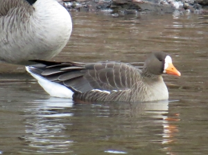 The Greater White-Fronted Goose at Duke Island Park, Jan. 2, 2013 (Photo by Zach Batren).