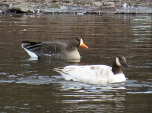 The Greater White-Fronted Goose and the Spackling Goose at Duke Island Park, Jan. 2, 2013 (Photo by Zach Batren).