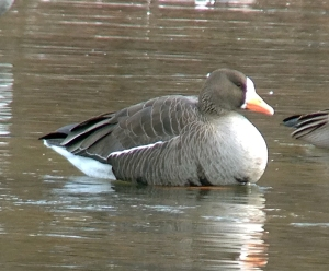 Greater White-Fronted Goose at Duke Island Park, Jan. 2, 2013. Note the belly pattern. This can be unique to each GWFG (Photo by Jeff Ellerbusch).