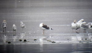 Lesser Black-backed Gull, Lake Parsippany, NJ, Jan. 12, 2013 (photo by Jonathan Klizas)