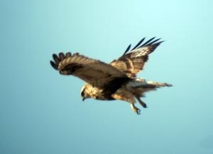 Rough-legged Hawk, Black Meadows, NJ, Jan. 6, 2013 (digiscoped by Jonathan Klizas)