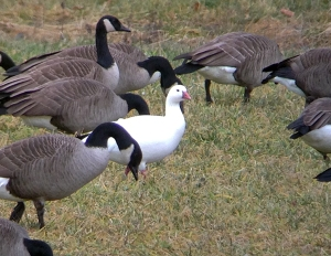 Ross's Goose, Basking Ridge, NJ, Jan. 14, 2013 (Photo by Jeff Ellerbusch).