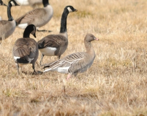 Pink-footed Goose, Florham Park, NJ, Feb. 24, 2013. First Morris County record. Found and photographed by Jeff Glassberg.