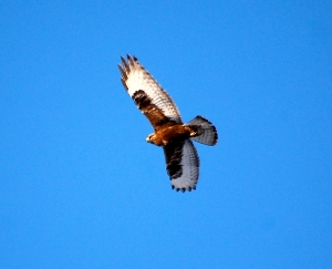 Dark-morph Rough-legged Hawk, Bedminster, NJ, Feb. 9, 2013 (photo by Holly Ellerbusch).
