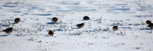 Lapland Longspur with Horned Larks, Hillsborough, NJ, Feb. 9, 2013 (photo by Jeff Ellerbusch).