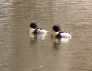 Red-breasted Mergansers, Raritan River (South Branch), Hillsborough, NJ, Feb. 3, 2013 (photo by Jeff Ellerbusch)