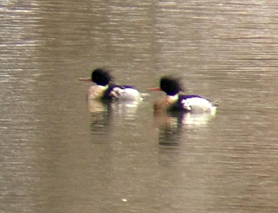 Red-breasted Mergansers, Raritan River (South Branch), Hillsborough, NJ, Feb. 3, 2013 (photo by Jeff Ellerbusch)