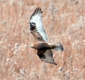 Rough-legged Hawk, Bedminster, NJ, Feb. 17, 2013 (photo by Chuck Hantis).