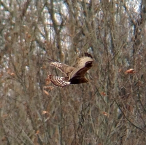 Rough-legged Hawk, Bedminster, NJ, Feb. 1, 2013 (photo by Jeff Ellerbusch)