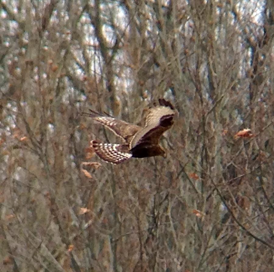 Rough-legged Hawk, Bedminster, NJ, Feb. 1, 2013 (photo by Jeff Ellerbusch)