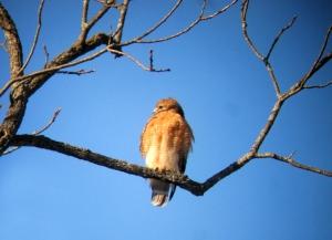 Red-shouldered Hawk, Woodland Road, Great Swamp NWR, NJ, Feb. 10, 2013 (Digi-binned while sitting in an idling Prius by Jonathan Klizas)