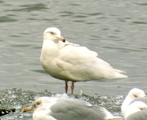 Glaucous Gull, Budd Lake, NJ, Mar. 2, 2013 (photo by Jeff Ellerbusch).