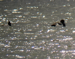 Scaup (Lesser and Greater), Budd Lake, NJ, Mar. 26, 2013 (photo by Jonathan Klizas)