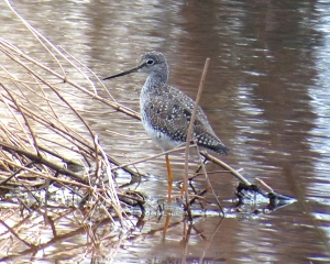 Greater Yellowlegs, Duke Farms, Hillsborough, NJ, Mar. 26, 2013 (photo by Jeff Ellerbusch).