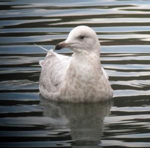 Iceland Gull, Mt. Hope Pond, Rockaway Township, NJ, Mar. 2, 2013 (digiscoped by Jonathan Klizas).
