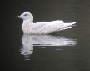 Iceland Gull, Mt. Hope Pond, Rockaway Township, NJ, Mar. 2, 2013 (digiscoped by Jonathan Klizas).