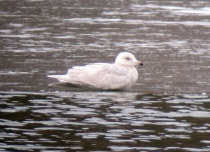 Iceland Gull, Rockaway Twp., NJ, Mar. 3, 2013. The 3rd day it is known to be here (digiscoped by Jonathan Klizas).