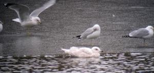 Iceland Gull with Ring-billed Gulls, Mt. Hope Pond, Rockaway Township, NJ, Mar. 2, 2013 (digiscoped by Jonathan Klizas).