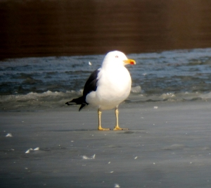 Lesser Black-backed Gull, Budd Lake, NJ, Mar. 10, 2013 (photo by Jonathan Klizas).