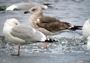 A young Lesser Black-backed Gull, Budd Lake, NJ, Mar. 2, 2013 (digiscoped by Jonathan Klizas)