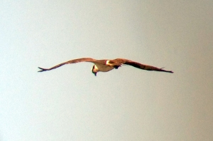 Osprey at Duke Farms, Mar. 14, 2013 (Digiscoped with an iPhone 5 by Jeff Ellerbusch).