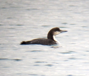 Pacific Loon, Lake Parsippany, NJ, Mar. 16, 2013 (digiscoped by Jonathan Klizas)