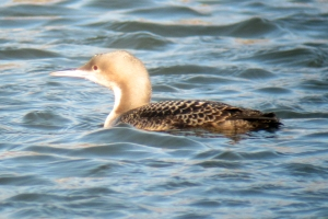 Day 6 of the Pacific Loon, Morris Plains, NJ, Mar. 14, 2013 (digiscoped by Jonathan Klizas)