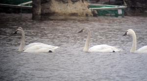 Tundra Swans, Lake Hopatcong, NJ, Mar. 2, 2013 (digiscoped by Jonathan Klizas).