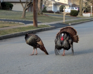 Turkey in the 'Burbs, Parsippany, NJ, Mar.31, 2013. The backyard of this street is Troy Meadows (Photo by Jonathan Klizas)