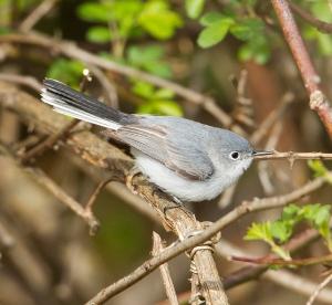 Blue-gray Gnatcatcher, Griggstown Grasslands, NJ, Apr. 22, 2013 (photo by Chris Duffek).