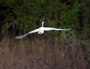 Great Egret, Melanie Lane Wetlands, NJ, Apr. 28, 2013 (photo by Chuck Hantis).
