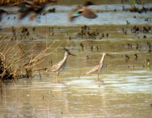 Greater and Lesser Yelowlegs at Melanie lane Wetlands, NJ, Apr. 27, 2013 (digiscoped by Jonathan Klizas).