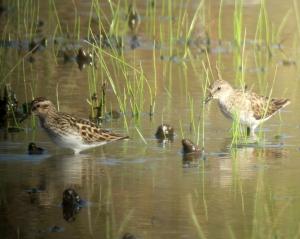Least Sandpipers, Hanover Twp., NJ, Apr. 25, 2013 (photo by Jonathan Klizas)