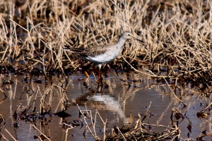 Lesser Yellowlegs, Glenhurst Meadows, NJ, Apr. 6, 2013 (photo by Jim Mulvey).