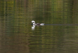 Long-tailed Duck, Franklin Twp., NJ, Apr. 17, 2013 (photo by Jeff Ellerbusch).