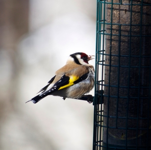 European Goldfinch, Bedminster, NJ, Apr. 8, 2013 (photo by Margaret Barbuty).