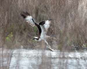 Osprey, Melanie Lane Wetlands, NJ, Apr. 28, 2013 (photo by Chuck Hantis).